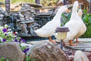 ducks at courtyard pond